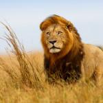 Masai Mara - lion