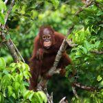 Baby Orangutan in Indonesia Vacation