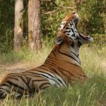 Tiger in Ranthambore - Things to do in North India