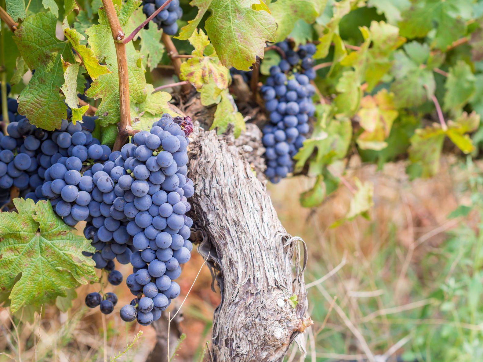 Auf Südafrika Rundreisen sollten Sie unbedingt die köstlichen Weine des Landes kosten