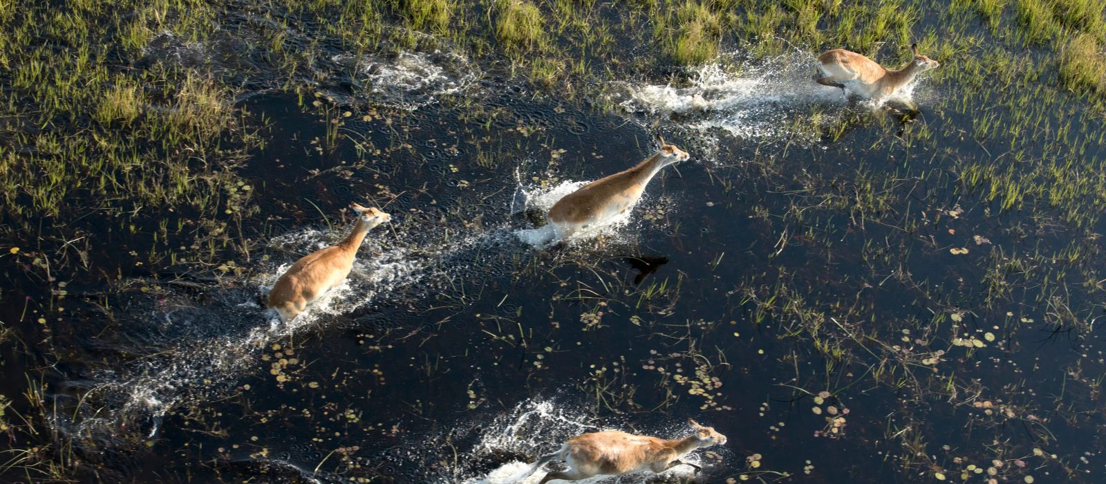 Red lechwe running in the okavango delta, Botswana, Africa