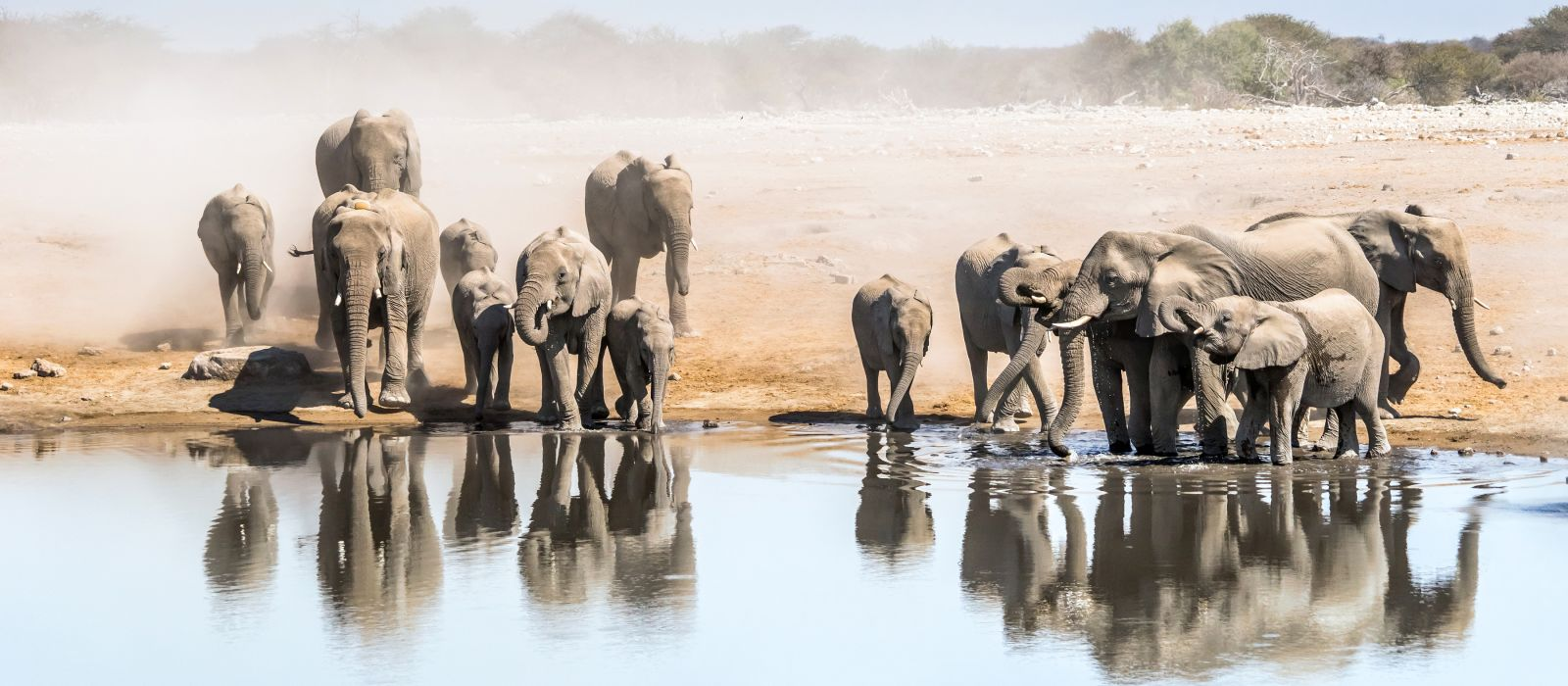 Large family of African elephants drinking at a waterhole in Etosha national park. Namibia, Africa