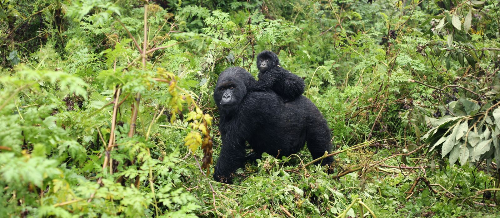 Baby Mountain gorilla sitting on his mother in the Virunga National Park, Democratic Republic Of Congo