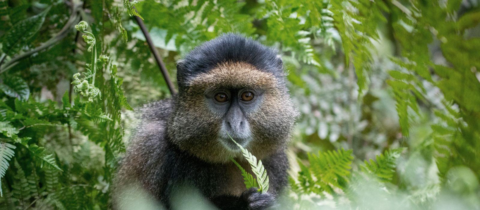 Portrait of a golden monkey eating leaves in Volcanoes National Park, Rwanda, Africa