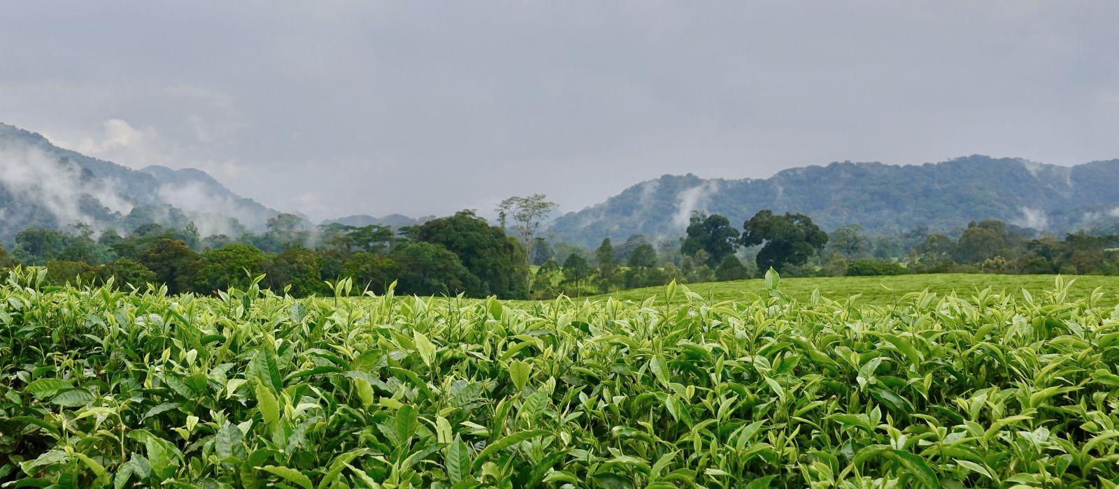 Rainforest Nyungwe, Tea Plantation,Rwanda, Africa, Landscape