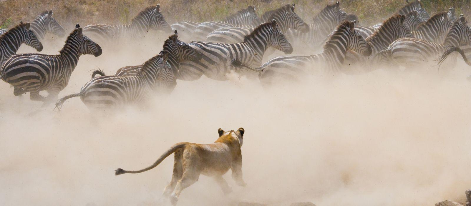 Löwin greift ein Zebra an, Nationalpark, Kenia