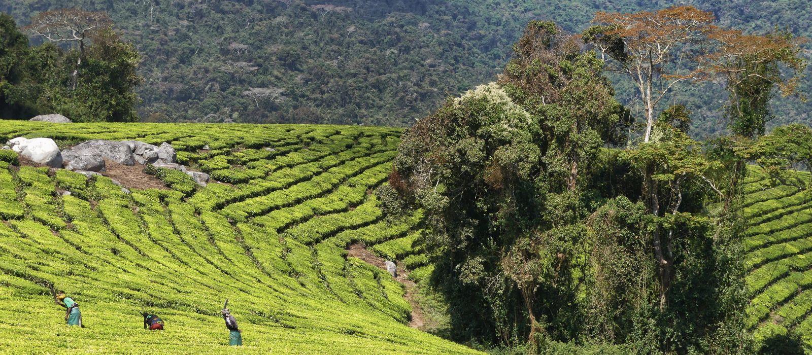 Teeplantage Tansania, Afrika