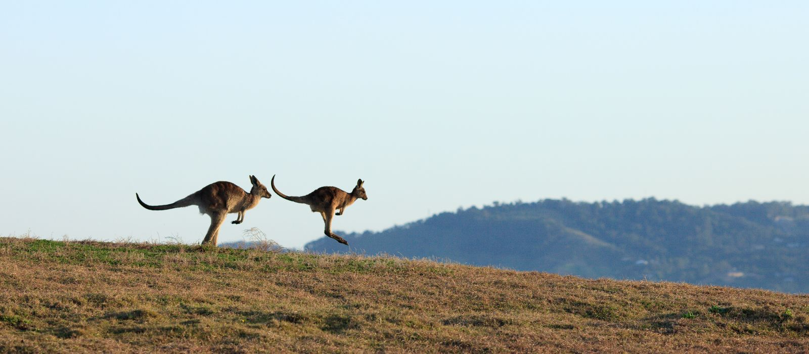 Kangaroos on the horizon, Emerald Beach, Australia