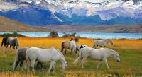 Horses Grazing in Torres del Paine, Chile
