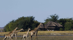 Giraffes in front of Chobe Savanna Lodge in Chobe National Park, Botswana