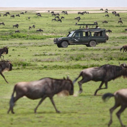 Wildebeest Migration in the Mara