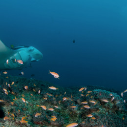 A curious manta ray looking at an underwater videographer