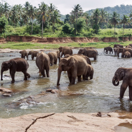 elephants in pinnawela sri lanka, Asia
