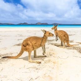 Kängurus am Strand von Lucky Bay im Cape Le Grand Nationalpark in der Nähe von Esperance im Westen Australiens