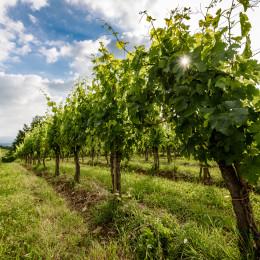 Weinreben in Goriska Brda, Slowenien