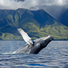 Best time to visit Hawaii - whale watching