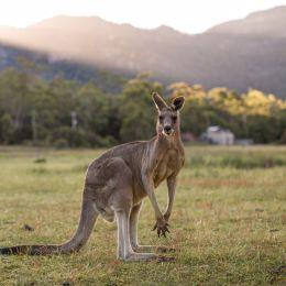 Australien Sehenswürdigkeiten - Känguru