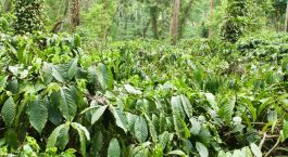 Plantage in Coorg