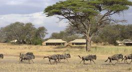 Wildebeest through Ubuntu Camp N Hotel in Serengeti (Northern), Tanzania
