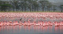 Flamingos am Lake Nakuru in Kenia