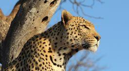 Leopard auf einem Baum im Krüger Nationalpark