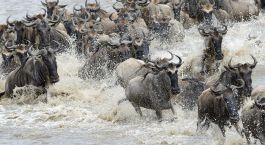 Unzählige Gnus auf der Great Migration in der Serengeti