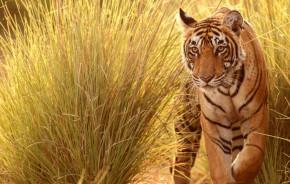 Tiger schreitet durch hohes Gras