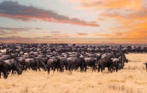 Enchanting Travels Wildebeest migration in Serengeti national Park,Tanzania - wildebeest migration