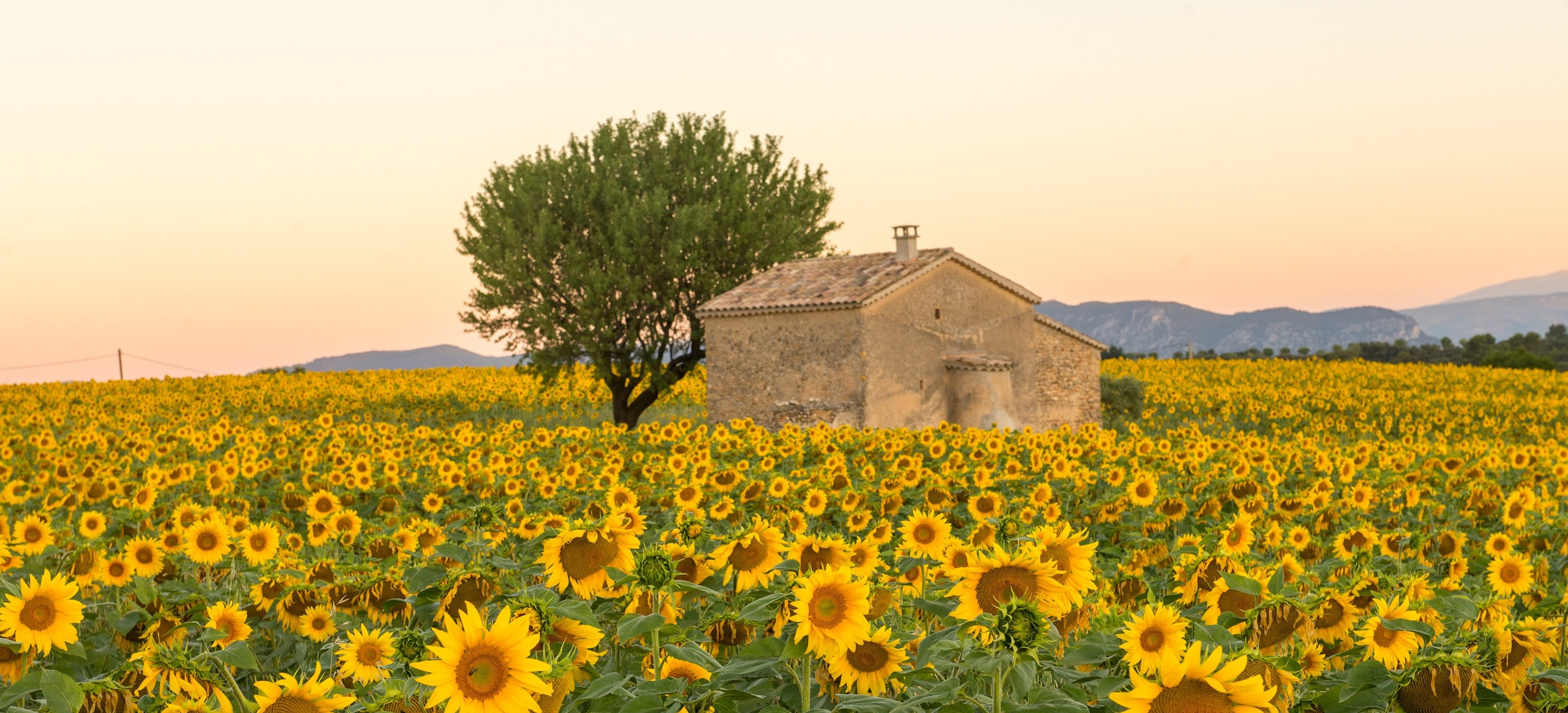 Enchanting Travel France Tours A field of sunflowers surrounds an old building in Provence, France - Best time to visit France