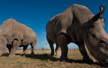 conserving-the-big-fives-black-rhino-in-kenya