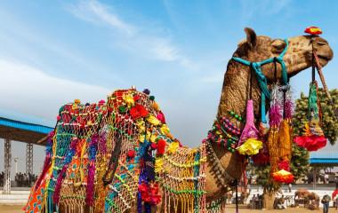 Bunt geschmücktes Kamel beim Wüstenfest von Jaisalmer in Indien, Rajasthan