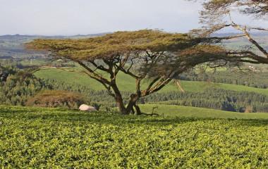 Teeplantage in Malawi