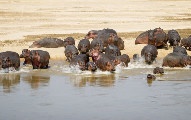 Nipferde trinken vom Fluss in Luangwa