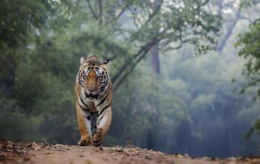 Tiger in Zentralindien