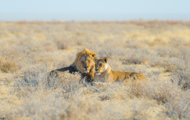 Couple of Lions lying down on the ground in the bush, Etosha National Park, Namibia, Africa