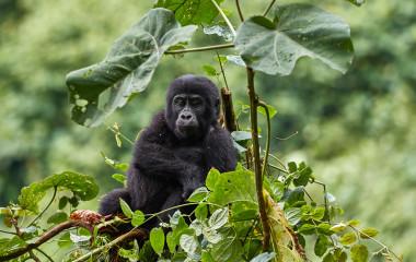 Kleine Gorillas im Bwindi-Nationalpark, Uganda, Afrika