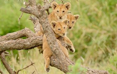 Gruppe von Tigerwelpen tummelt sich auf einem Baum in Afrika