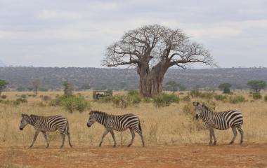 Safari-Touristen im Geländewagen beobachten Zebras in der Savanne von Tansania, Afrika