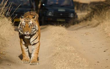 Safari in India: Meet the Royal Bengal Tiger
