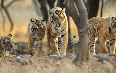 Tiger Safaris in India - Central & West India Tours