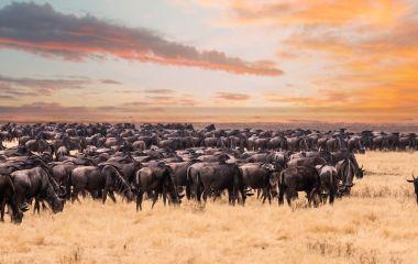 Enchanting Travels Wildebeest migration in Serengeti national Park,Tanzania - wildebeest migration