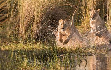 Enchanting Travels Africa Tours Watershy lions in the Okavango Delta, Botswana