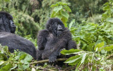 Pregnant Mama Gorilla and junior Silverback of the Sabinyo Group at Volcanoes National Park, Rwanda, Africa