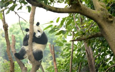 Cub of Giant panda bear sleeping on tree Chengdu, China