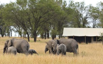 Elefantenherde neben Kimondo Camp in der nördlichen Serengeti, Tansania