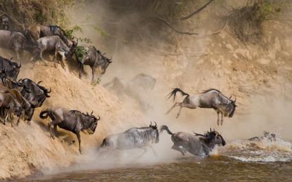 Gnus preschen durch den Mara-Fluss im Masai-Mara-Nationalpark, Tansania