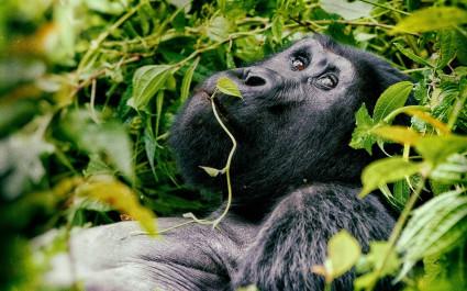 Gorilla im Volcanoes Nationalpark