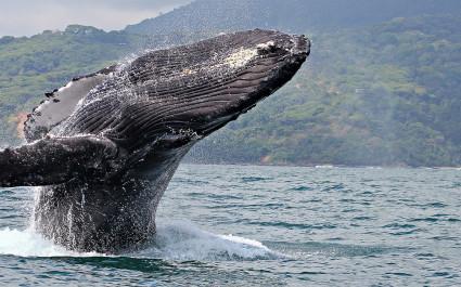Wal an der Küste von Uvita, Costa Rica