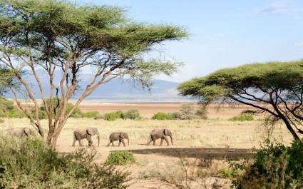 Elephants at Manyara