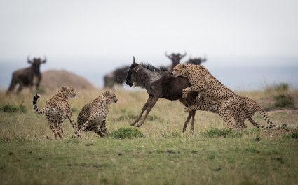 Geparden erlegen ein Gnu in der Masai Mara, Afrika